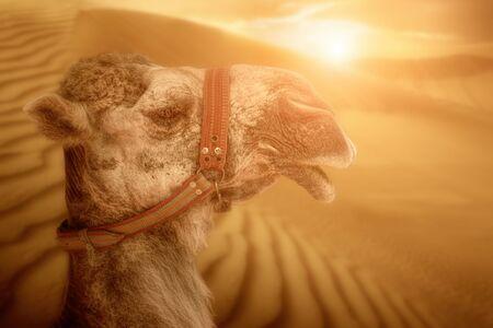 ethnics: Desert landscape with camel. Sand, camel and sunset. Travel adventure background.