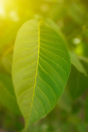 fresh leaf: green fresh leaf background