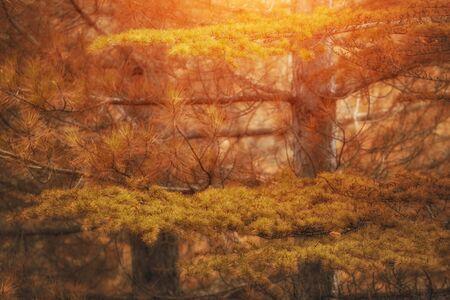 fragrant: Yellow and Green autumn pine Stock Photo