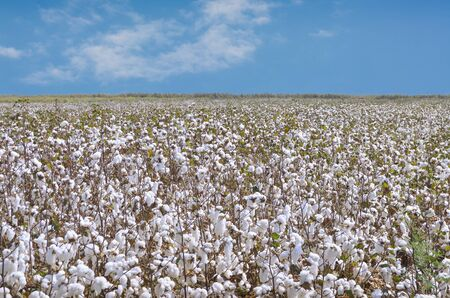 cotton crop: cotton plantation for industrial use