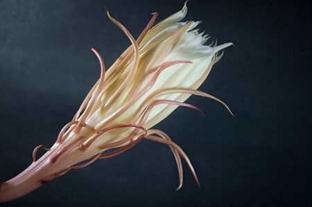 cereus: Cactus Blossom, Shallow Depth of Field. Orchid Cactus Queen of the Night,