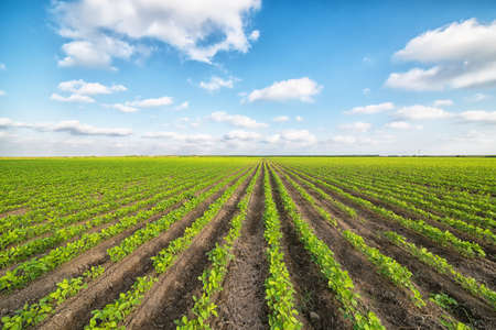 monoculture: green agricultural landscape and blue sky Stock Photo