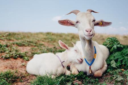 Nahaufnahme weiße Ziege mit Kindern im Hofdorfhaus sonniger Frühlingstag.