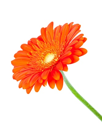 Gebera (african daisy) isolato su bianco