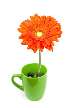 glandular: colorful orange daisy gerbera flowers in a cup