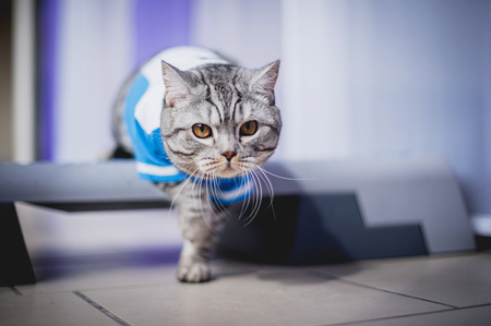 British short-haired cat in clothes. Cat soccer player. A beautiful home cat sits on a windowsill Stock Photo