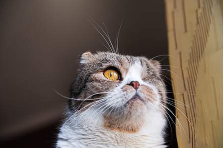 Portrait of a beautiful pet. The British shorthair cat sits near the window sill and looks sadly out the window. Muzzle close-up. Place for your text.