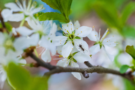 Spring beautiful picture. As the buds, leaves, blossoms cherry. Macro flowers of garden trees, ant. Background and space for your text. Banco de Imagens