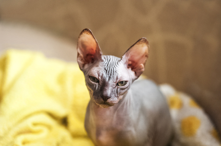 Photo of the Sphynx breed. Portrait of a bald gray cat that walks the sofa and lies in a rug