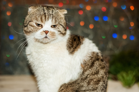 Christmas card, photo, background. The British shorthair cat sits with a displeased face against the background of Christmas lights. Place and background for text