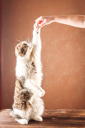 British shorthair cat stands on its hind legs. Domestic cat fed food with hands Standard-Bild