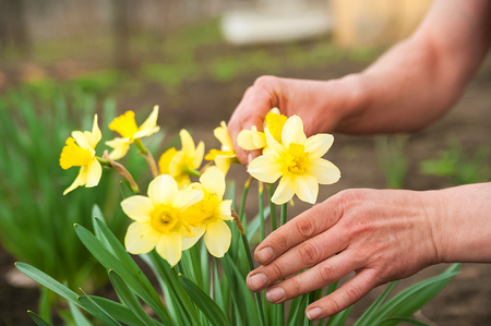 Mani maschili piantano fiori primaverili. Mani e narcisi si chiudono e copiano lo spazio