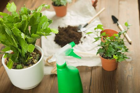 Concept of transplanting plants. Gardening rake and craft paper on rumpled craft paper with copy space. Taking care of home plants. Schlumbergera cactus and ivy Stock Photo