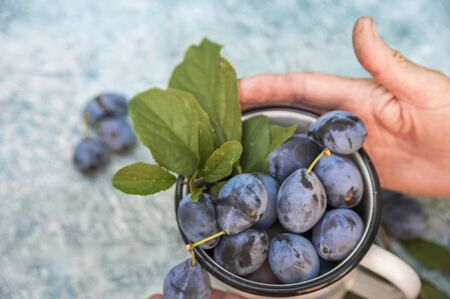 Elderly close-ups hold ripe blue plums in an enamel cup. The concept of organic products plum and copy space.