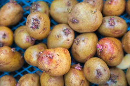 Sprouted potatoes close-up. Potatoes for planting in the spring and copy space.