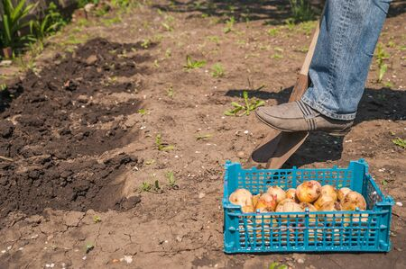 Sprouted potatoes close-up. A man sits potatoes in the spring and copy space.