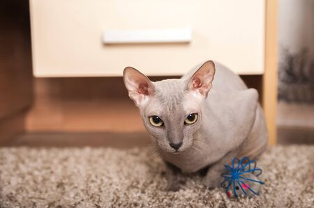 Sphynx cat at home. Closeup portrait of a home gray sphinx cat. Cat plays at home and copy space.