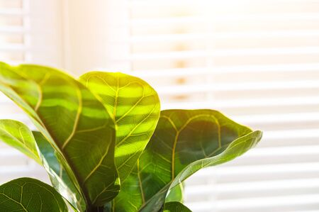 Ficus lirata in scandy interior and copy space. Texture ficus leaves closeup