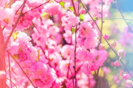 Natural spring texture of a flowering branch. Cherry blossoms, sakura in pink closeup and copy space. Congratulation card and free space. 版權商用圖片