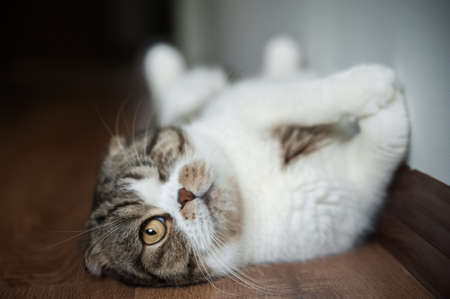 The one-eyed cat lies on its back. British shorthair beautiful domestic cat close up and copy space. 스톡 콘텐츠