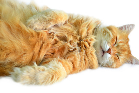 Funny sleeping cat  Isolated photo photo