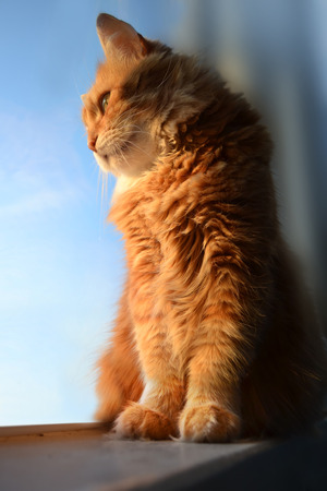 Fluffy red cat looking at the window photo