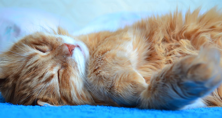 thoroughbred: Portrait of a fluffy thoroughbred red cat Stock Photo