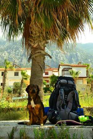 guarding: Dog guarding the backpack under the palm tree.