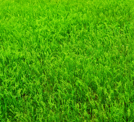 Bright green grass. Seamless horizontal dimension.