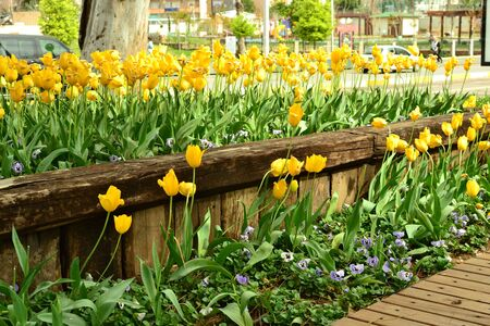 flowerbed of blooming yellow tulips.