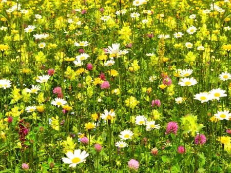 Beautiful flower meadow in mountains.