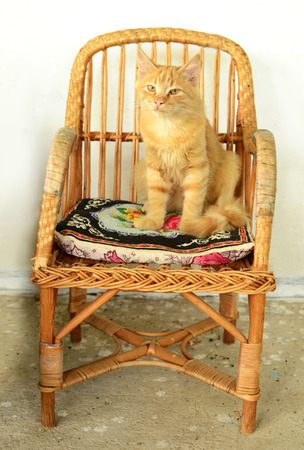 Pretty red kitten sitting on the chair. Stock Photo