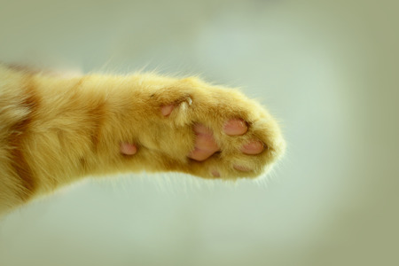 Close up of red cats paw on a white background.