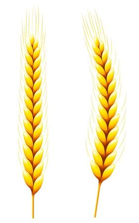 Whole Wheat isolated on white.