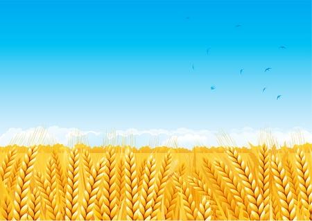 Grain fields. Fall landscape of yellow Grain fields with Wheat. Stock Vector - 10330918