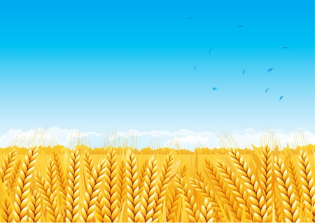 Grain fields. Fall landscape of yellow Grain fields with Wheat. Vector