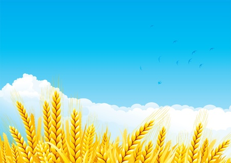 Grain fields. Fall landscape of yellow Grain fields with Wheat. Stock Vector - 11017502