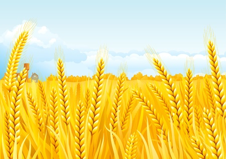 Grain fields . Fall landscape of yellow Grain fields with house and Water Tower. Vector