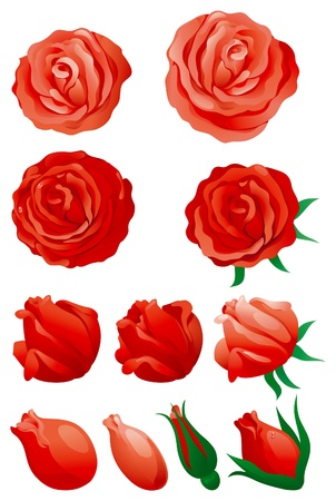 Red roses. Vector set of red roses isolated on white background. Stock Vector - 11837473
