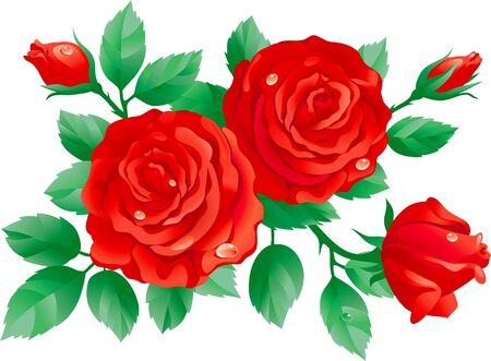 flower close up: Vector of red roses isolated on white background.