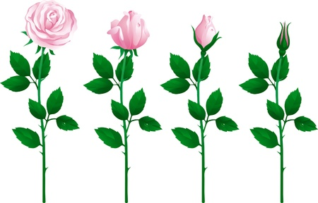 leaf close up: set of pink roses. Four pink roses from bud to full blossom.