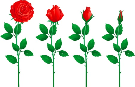 stalk flowers: set of red roses. Four red roses from bud to full blossom.
