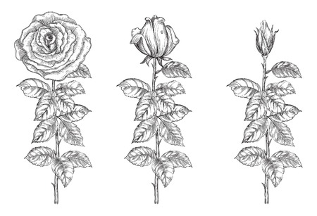 Set of roses. Vector roses from bud to full blossom at retro engraving style.