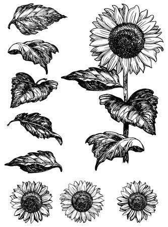 boceto: Girasol. Conjunto de vectores de girasoles dibujados a mano y deja aislada sobre fondo blanco en estilo retro