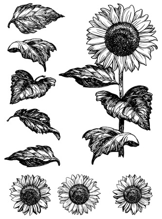 Sunflower . Vector set of hand drawn sunflowers and leaves isolated on white background at retro style