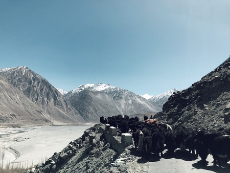 herder: Yak at Nubra Valley