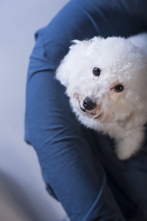 Toy Poodle dog on a blue sofa