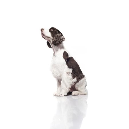 springer: Springer Spaniel against white background Stock Photo