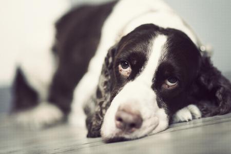 springer: Springer Spaniel lie down on the floor. Stock Photo