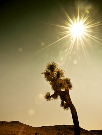 A single Joshua Tree against strong and hot sunlight